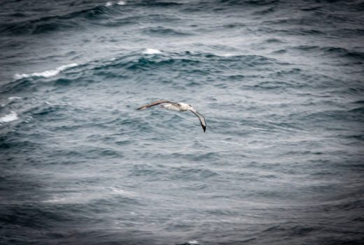 Albatros flying in the Strait of Magellan