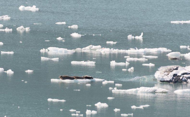 Seals resting on an iceberg