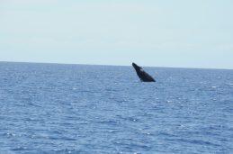 Maui - Wale