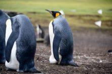King Penguin Up Close
