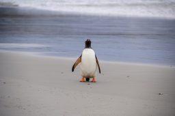Lone Gentoo Penguin Poser