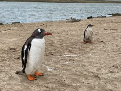 Falkland Island Penguins on our Cruise to South America