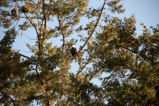 An other bald eagle easily spotted at Lighthouse Park in Vancouver