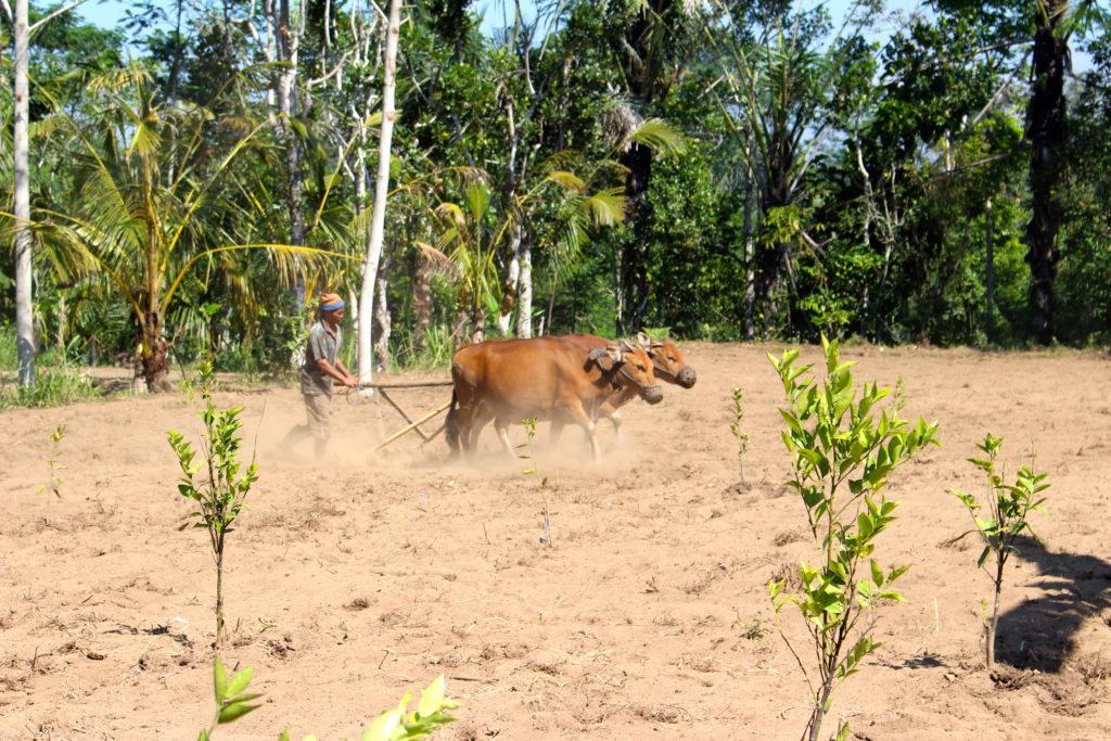 a farmer using cows to work a field