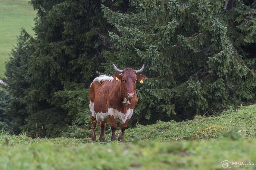 Vacas locais em Saalachtal Áustria