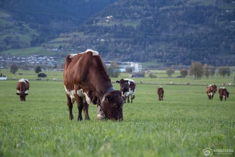 Vacas enlouquecendo em um campo na Áustria