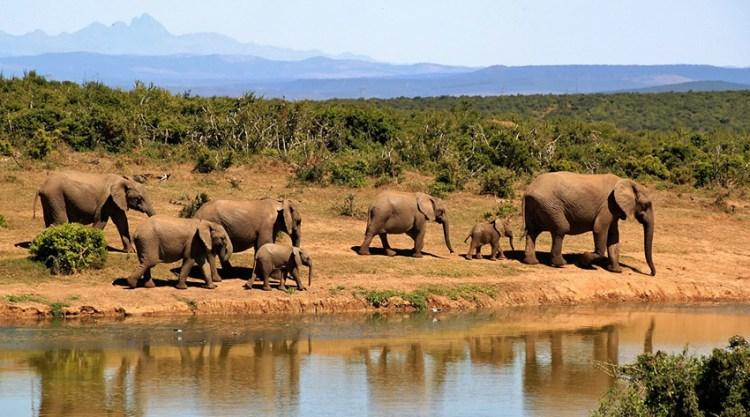 elefantes em um safari via pixabay - 279505_1280