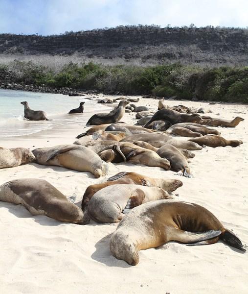 Equador Galápagos Praia da Ilha de Santa Fé Leões marinhos Via G Adventures