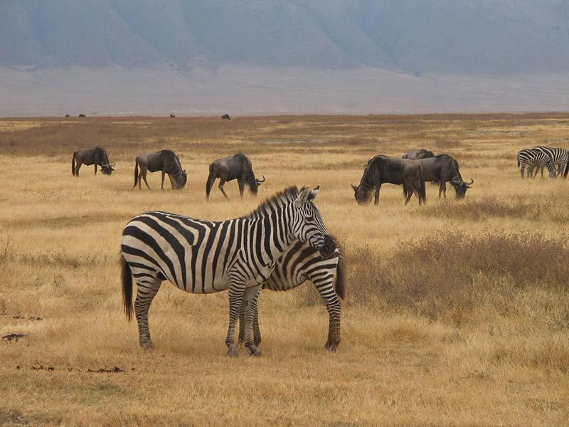 Zebras e vida selvagem em Ngorongoro