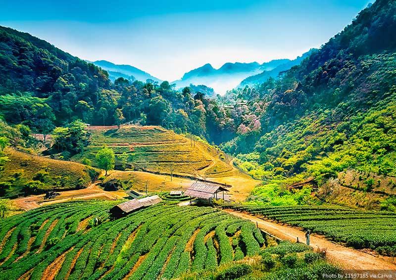 Plantações de chá, Chiang Mai, Tailândia