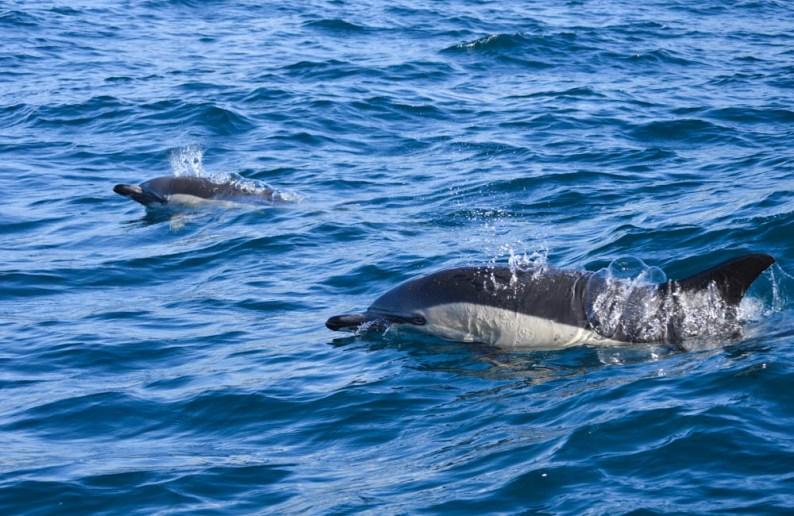 Common-dolphin-SaoMiguel