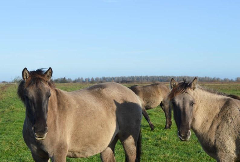 Konikpaarden in Nationaal Park Lauwersmeer