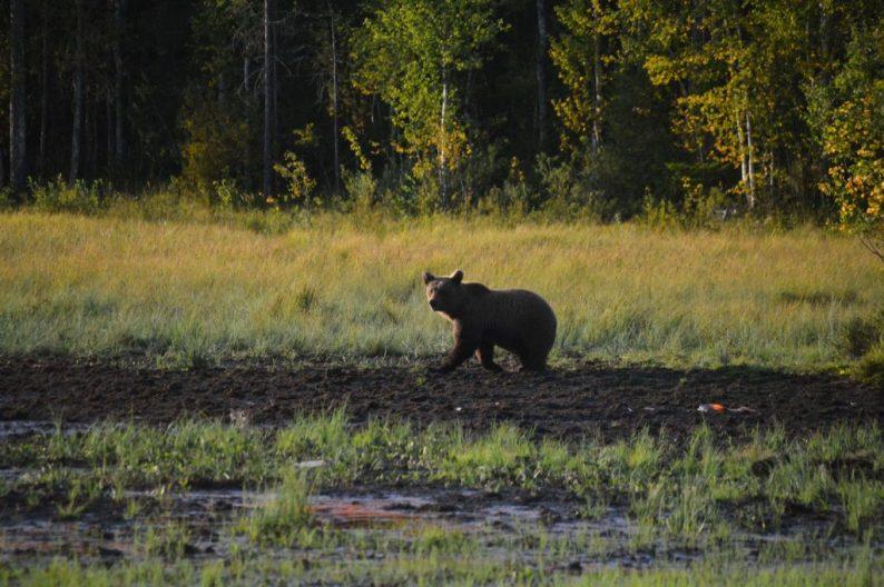 bruine beren in Lapland
