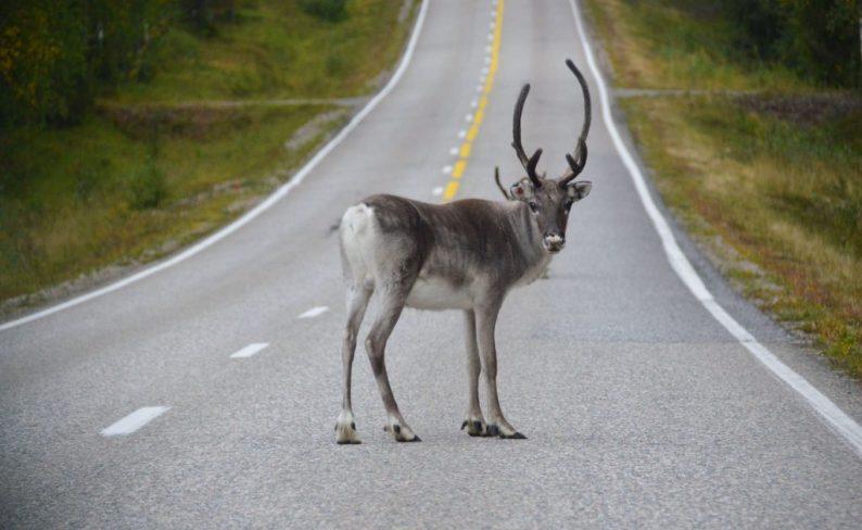Let op rendieren en elanden in Finland