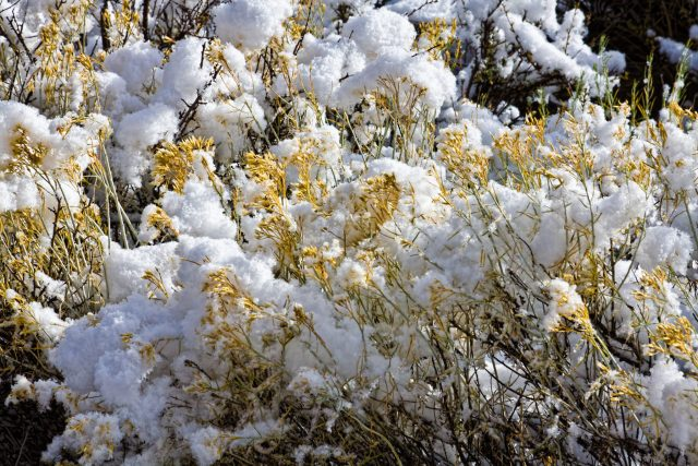 Sagebrush covered by snow on the Utah country roads