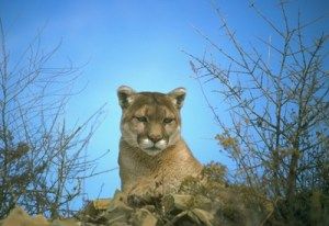 Mountain Lion Attacks Hiker on AT in Virginia