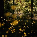 Synchronous Fireflies 2017 Viewing Dates in GSMNP