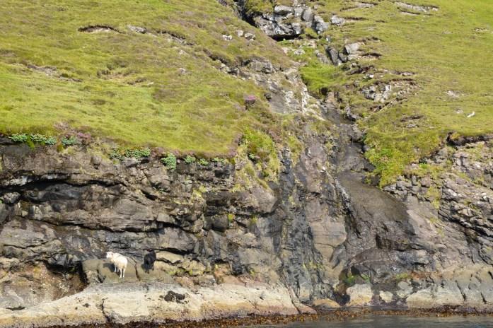 Sheep, Vestmanna, Streymoy, Faroe Islands