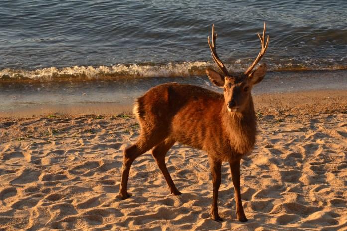 Deer in Miyajima, Japan