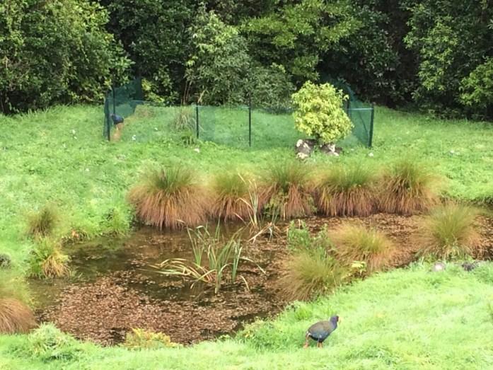 Kaka, Pukaha Mount Bruce National Wildlife Centre, New Zealand