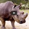 Czy wiecie, że na ziemi, przy życiu zostały już tylko trzy północne nosorożce białe?
