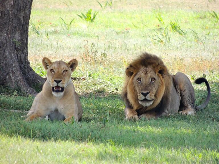 lions-175934_1920