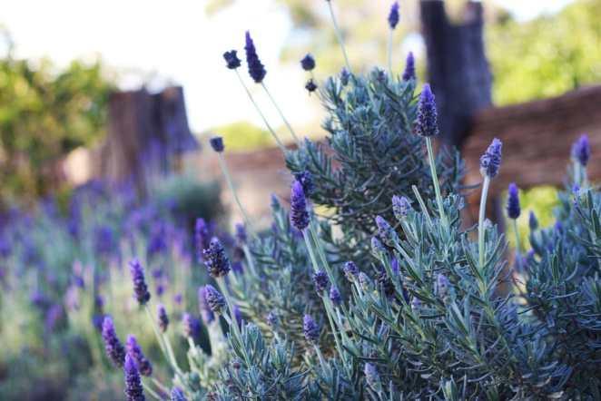 lavender farm kingaroy australia