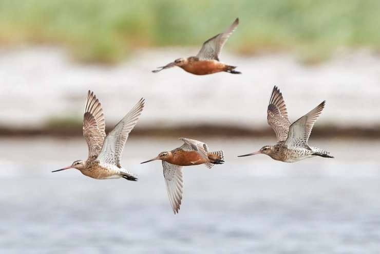 Bar-tailed godwits (Limosa lapponica) in flight with water in the background