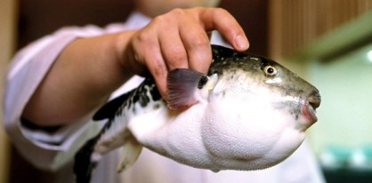 Photograph SinopixRex - The fugu fish although infamous for its poisonous liver remains a popular delicacy for those who travel to Japan
