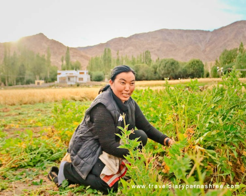 Why I Chose Himalayan Farm stays in Phyang Village in Ladakh
