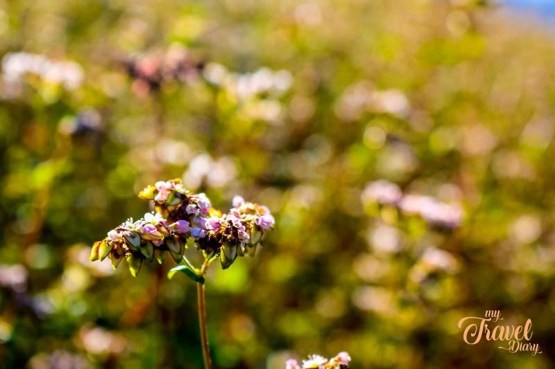 Close-up of Buckwheat flower