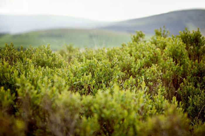 Juniper bushes providing the berries for Caorunn Scottish gin
