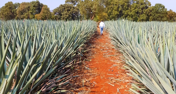 Carlos Camarena in his Agave Fields at the El Tesoro Distillery in Jalisco, Mexico.