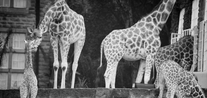 Giraffe manor house (11)