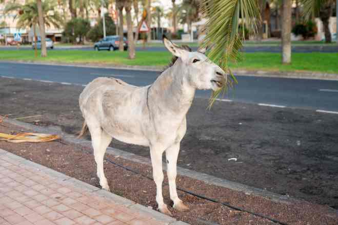 Majorera donkey in Fuerteventura spain