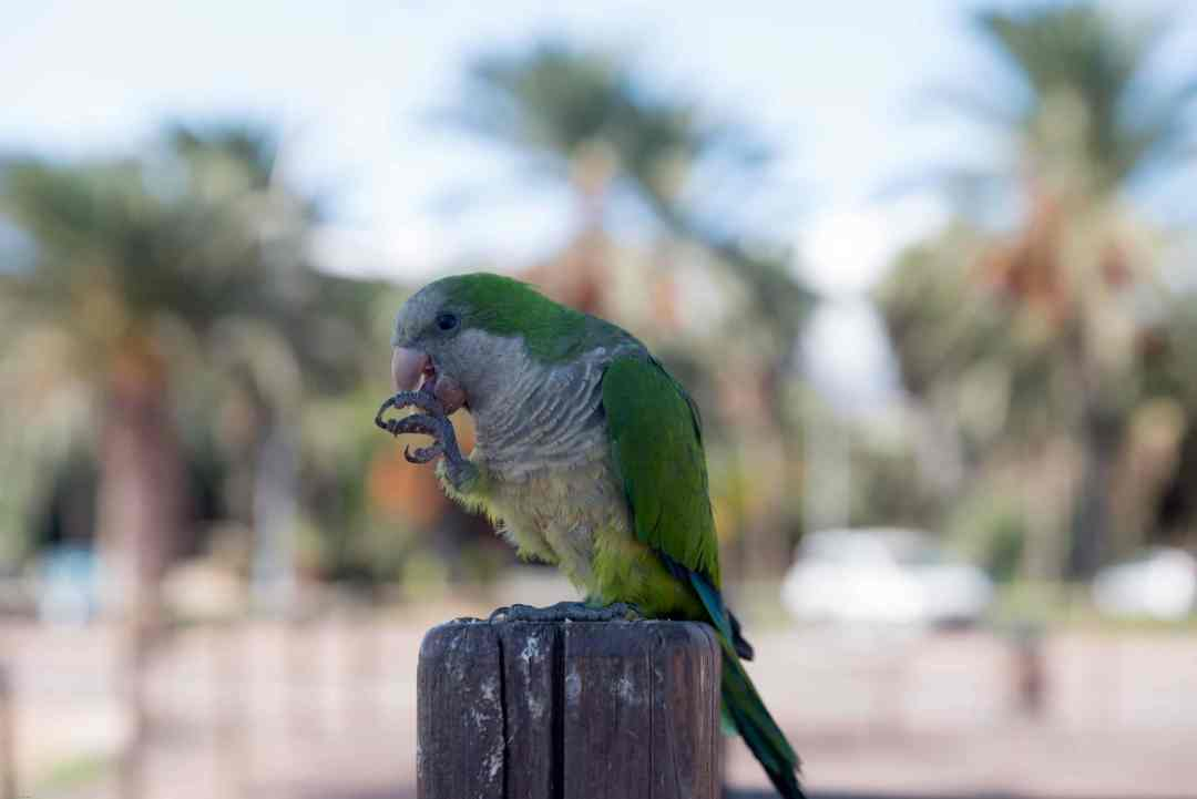 Quaker Parrot eating