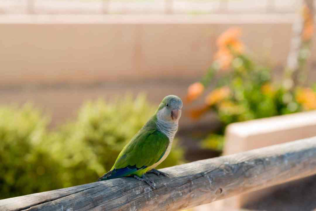 Monk Parrot aka Quaker Parrot