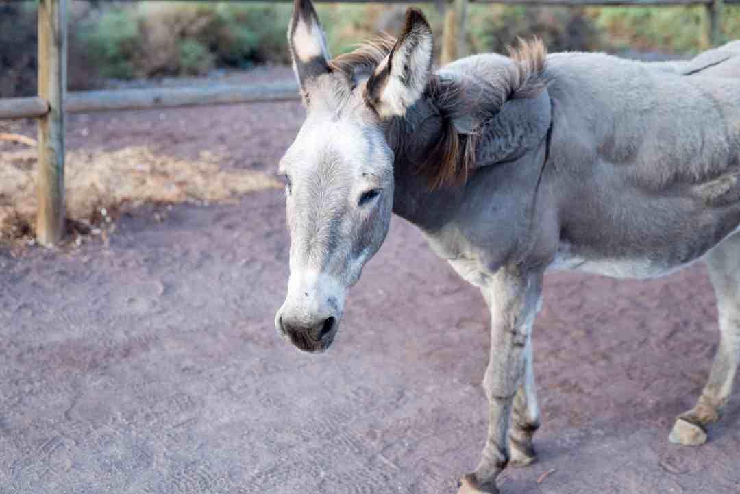 Majorera donkey