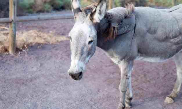 Majorera donkey in images