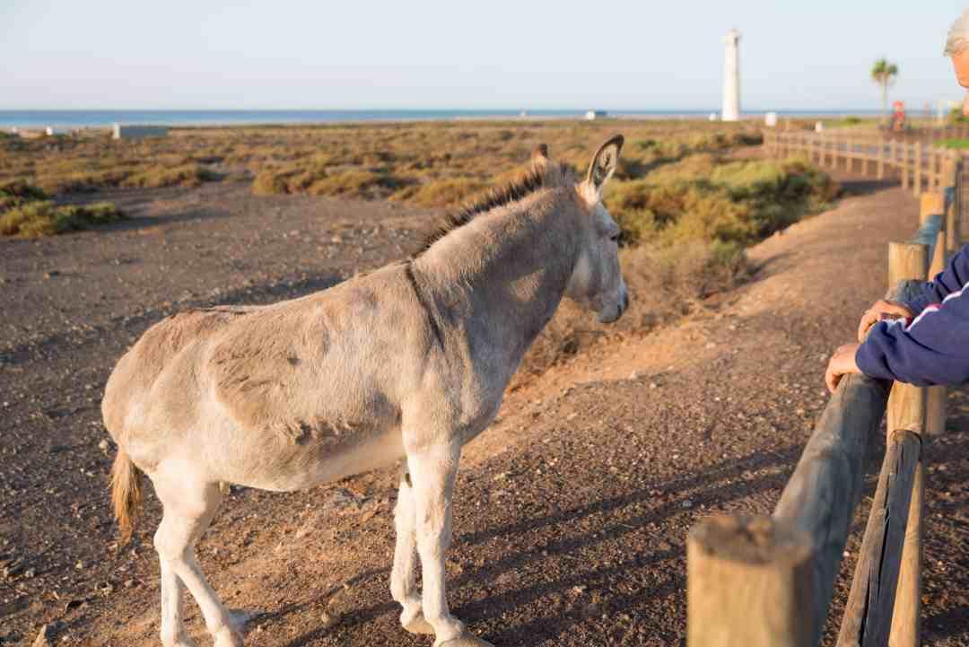 Majorera donkey fuerteventura