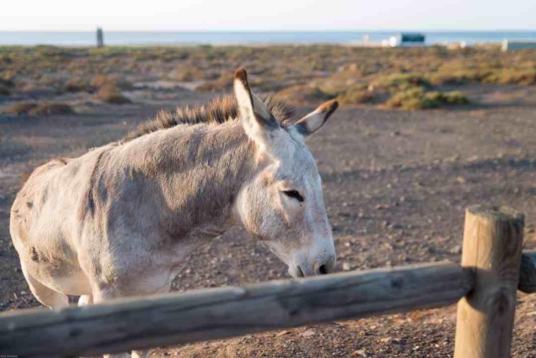 Majorera donkey Morro Jable