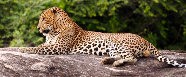 A leopard resting in the Yala National Park. Photo credit Buddhika Gammudali.
