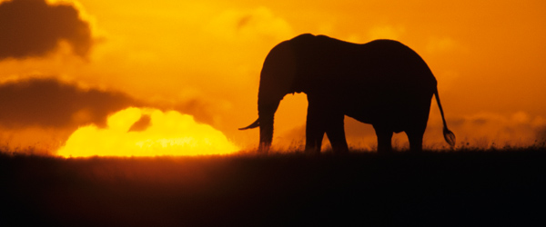 An elephant on the plains of the Serengeti at sunset.