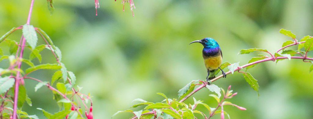 Uganda Birding Tour Safari - Variable Sunbird