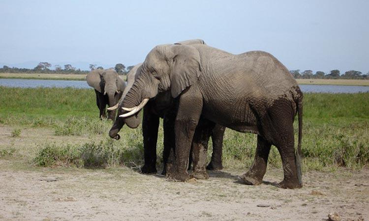 Kenya Safari Destinations - Amboseli National Park Elephants