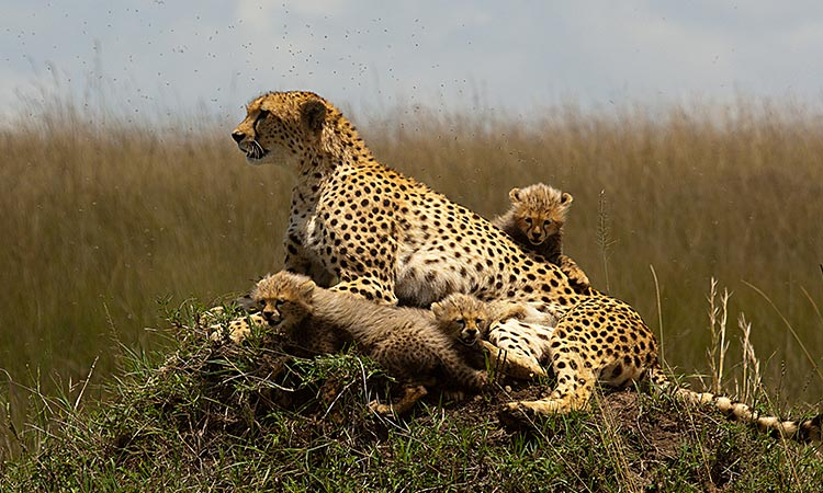Kenya Tour Packages - Masai Mara Game Reserve - Kenya Safaris