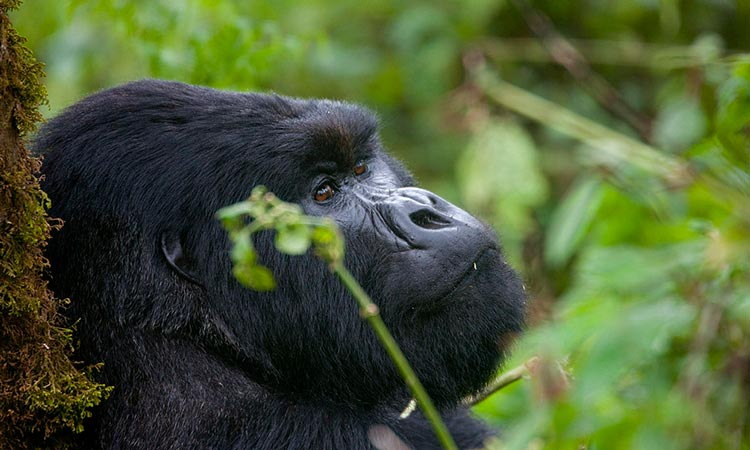Uganda Safaris tours and Gorilla Trekking