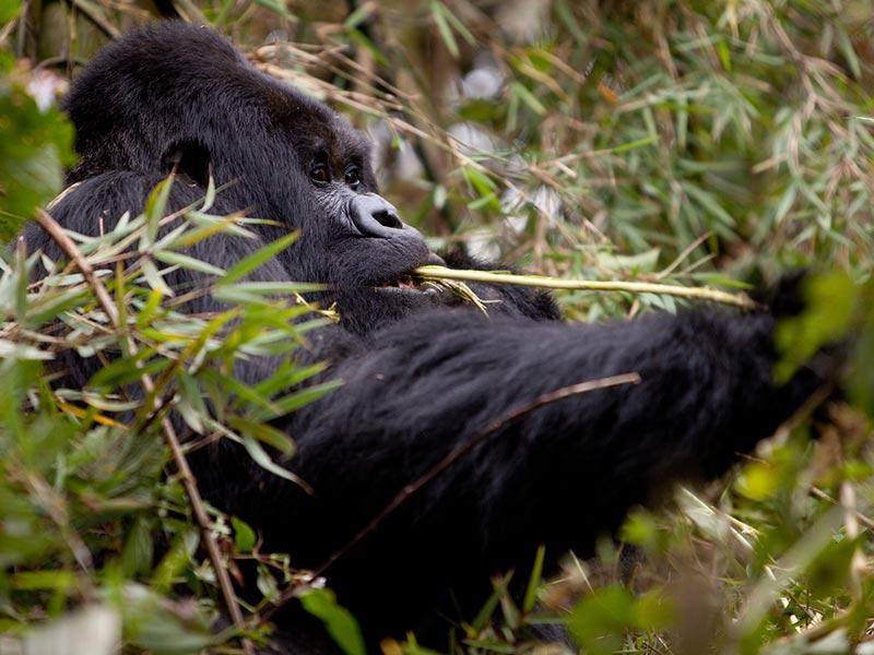 Rwanda Gorilla Trekking Safari - Rwanda Chimps Tour - Nyungwe