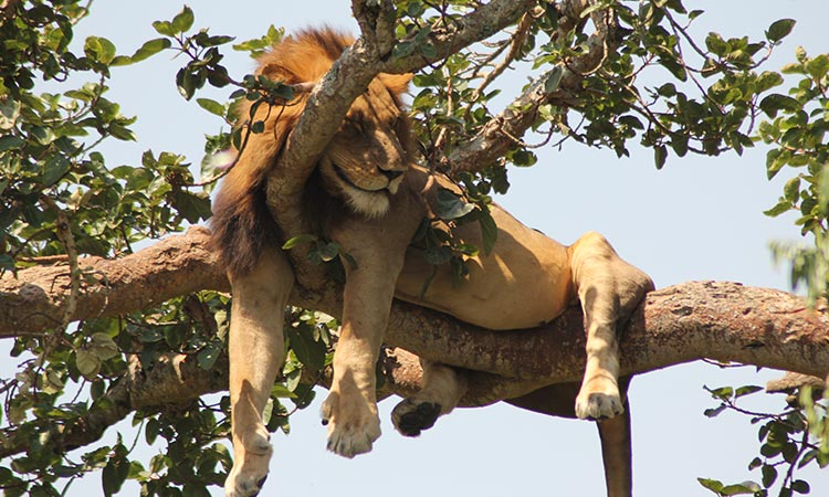 Queen Elizabeth National Park Ishasha Tree Climbing Lions