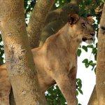 Tree Climbing Lions in Queen Elizabeth National Park Safari
